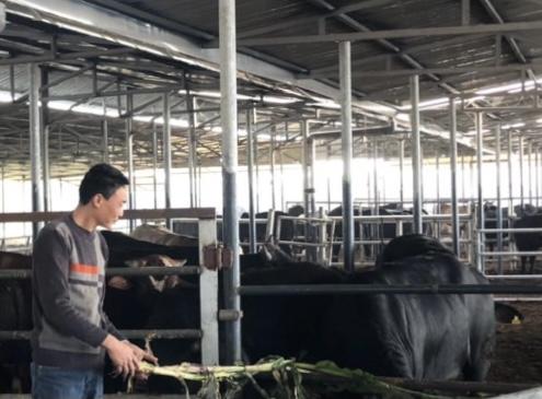 Mô hình nuôi bò cho thu nhập cao của hộ nông dân ở Bình Lục, Hà Nam