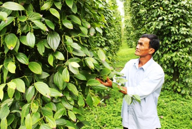 Hợp tác xã Lâm San (huyện Cẩm Mỹ), đơn vị xuất khẩu tốt sản phẩm tiêu vào những thị trường khó tính và là chủ đầu tư dự án cánh đồng cây tiêu lớn (Ảnh: Đ.N)
